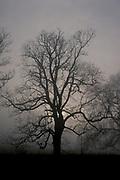 Common Ash Tree, Fraxinus excelesior, UK, in winter mist