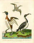 Colymbus [Common Loon] The white- winged Guillemot (Top) Horned Grebe (Left) and the Arctic Diver. Handcolored copperplate engraving From the Encyclopaedia Londinensis or, Universal dictionary of arts, sciences, and literature; Volume IV;  Edited by Wilkes, John. Published in London in 1810