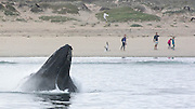 Surprise! Humpback whale gets dog's attention as it emerges from water incredibly close to California shoreline to feed on anchovies<br /> <br /> This is the moment a huge humpback whale emerged from water close to the California coastline to say hello which seemed to startle a passing dog.<br /> <br /> The amazing image was captured on Sunday by Kate Cummings, of the Blue Ocean Whale Watch, near Moss Landing in California's Monterey Bay. <br /> <br /> The whale lunged up out of the water to feed on a mouthful of anchovies.<br /> <br /> A woman walking her dog along the beach was lucky enough to have a camera on hand to capture the moment.  <br /> <br /> In another photo a whale pops out to say hello to a mother and her daughter.<br /> <br />      <br /> According to Ms Cummings, the whales began appearing close to the shore over the weekend. <br /> <br /> Before Sunday the closest they would come to shore was about 100 yards but now it has been more like 50 yards.<br /> <br /> Ms Cummings said this might be because anchovies had begun to bunch up closer to the shoreline. <br /> <br /> She told GrindTV: 'I think it has to do with the calmness of the ocean and the tides, plus the anchovies trying to seek refuge in shallow water—to no avail.<br /> <br /> 'The last few days our routine has been to first check out the whales lunge-feeding on anchovies along the beach, then head out a mile-and-a-half to groups of 10 to 12 humpbacks feeding together with hundreds of sea lions.<br /> <br /> 'The whales have drawn a crowd at the beach, and I was hoping she'd come up near a beachgoer for a sense of scale. The alert dog was a bonus.'<br /> <br /> Humpback whales are known for their magical songs, which travel for great distances through the world's oceans.<br /> <br /> These sequences of moans, howls, cries, and other noises are quite complex and often continue for hours on end.<br /> <br /> Scientists are studying these sounds to decipher their meaning. It is most likely tha