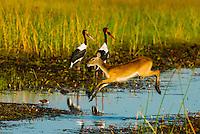 A Red Lechwe (antelope) jumps across a stream with two saddle-billed storks behind), near Kwara Camp, Okavango Delta, Botswana.