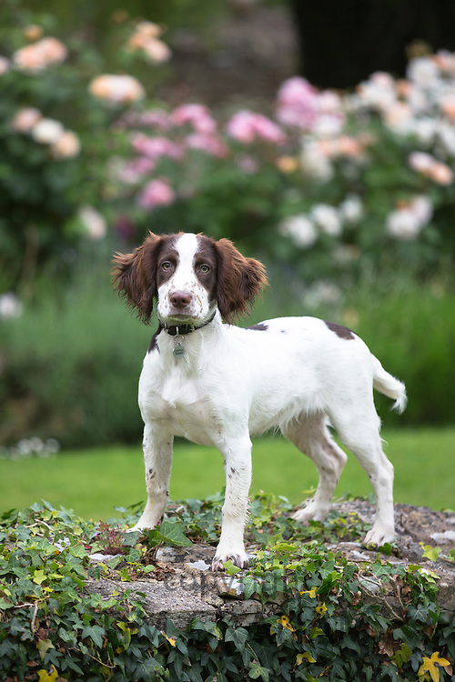 Springer Spaniel dog with brown markings in country garden in England