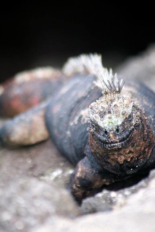 A lounging Marine Iguana of the Galapagos Islands, Ecuador, South America.