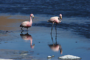 Flamingos stride gracefully across the shallows of Lago Cañapa, in the Bolivian Altiplano, south-west of Uyuni