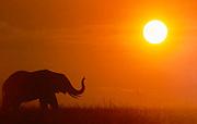 Elephant at sunset, Serengeti National Park, Tanzania.