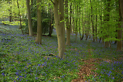 Surrey, UK. Monday 20th April 2014. Bluebells in woods in Surrey near to Godalming. These Spring flowers cover the woodland floor every year.