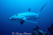 pelagic thresher shark, Alopias pelagicus, being cleaned by cleaner wrasse, Labroides dimidiatus, Philippines (Pacific)