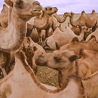 Bactrian camels rest after carrying  loads in the Gobi Desert, Mongolia.