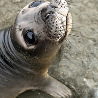 A southern elephant seal weaner is curious at Gold Harbour on South Georgia Island.