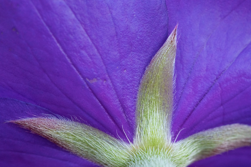 Princess flower, Tibouchina urvilleana, garden plant from Brazil, Yangmingshan National Park, Taipei, Taiwan