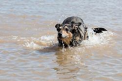 Wallce in the sea Mapleton dog friendly beach<br /> <br />  02 August 2018<br />  Copyright Paul David Drabble<br />  www.pauldaviddrabble.co.uk