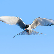 Arctic tern (Sterna paradisaea) hovering above the ocean before it dived in to catch fish.