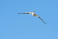 American White Pelican, Pelecanus erythrorhynchos, flies over Upper Klamath Lake, Oregon