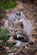 A male bobcat (Felis rufus) eating a grouse.