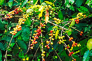 Red and green coffee cherries, Kona District, The Big Island, Hawaii