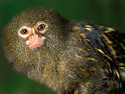 Pygmy Marmoset (Cebuella pygmaea) - Amazon, Captive,  jungle.South America....