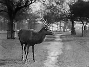Deer, Richmond Park, Surrey, England, 1925