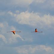 Flamingoes. Rio Lagartos. Yucatan, Mexico.