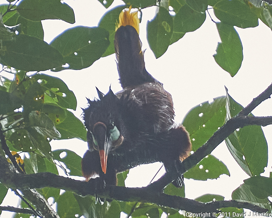 Montezuma Oropendola (Psarocolius montezuma). Semester at Sea Field Trip. Limon, Costa Rica. Image taken with a Nikon D3s camera and 70-300 mm VR lens