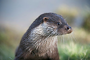 European otter portrait, Lutra lutra<br /> face<br /> mammals<br /> nature<br /> wildlife<br /> Sussex<br /> UK