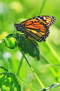 close-up of monarch butterfly on a leaf.