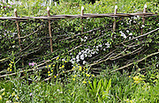 Traditionally cut and laid hedge with wild flowers, Southern England