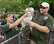 Department of Environmental (DEC) fisheries technician Jenine Toby, left, hands a Canada goose to DEC fisheries technician Dustine Dominesey during a banding operation at Fancher-Davidge Park in Middletown on Thursday, June 27, 2013. The DEC used canoes and kayaks to round up 131 geese at the park and then banded the geese that did not already have bands.