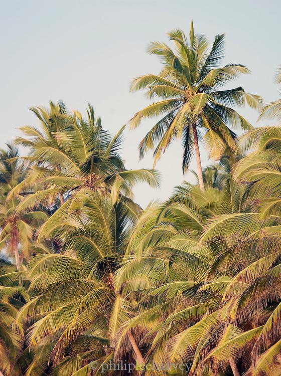 Palm trees, Tangalle, Sri Lanka