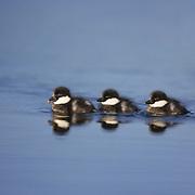 Common merganser ducklings in southerrn Alaska.