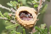 Parasitised nest of heath potter wasp (Eumenes coarctatus). Surrey, UK.
