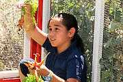 Manzo Elementary School student, Valeria Gaona, 8, works in the school's organic garden, Tucson, Arizona, USA.  The school was the first in TUSD to be certified for garden to cafeteria food consumption and first in the state of Arizona for rainwater harvesting and composting. The  garden projects in the district work with internationally known Biosphere2 and the University of Arizona. The garden was built in conjunction with the National Park Foundation's First Bloom program. The project is supported in part by a USDA Farm-to-School grant.  Named Best Green School 2012 by the U.S. Green Building Council, Manzo is the only K-5 public school in the United States to receive that honor in response to their environmental initiatives.