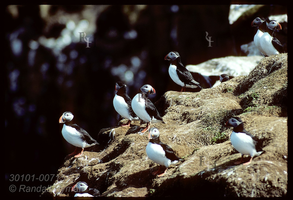 Puffins sit at edge of ocean cliff amid nesting burrows on Grimsey Island in May. Iceland