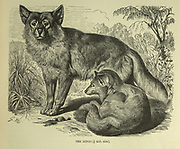 Dingo From the book ' Royal Natural History ' Volume 1 Edited by  Richard Lydekker, Published in London by Frederick Warne & Co in 1893-1894