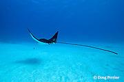 spotted eagle ray, Aetobatus narinari, at Eagle Ray City, Saipan. Commonwealth of Northern Mariana Islands<br /> Micronesia ( Western Pacific Ocean )