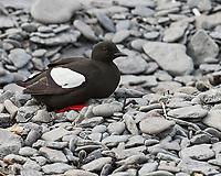 Black Guillemot (Cepphus grylle). Vigur Island Field Trip.  Isafjordur, Iceland. Image taken with a Nikon Df camera and 70-200 mm f/4 VR lens.