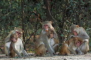 Rhesus Macaques (Macaca mulatta) grooming each other in Bharatpur National Park or Keoladeo Ghana Sanctuary. Rajasthan. INDIA<br /> Macaques live in forest edges and in or near villages, towns and temples from up to 2,400 meters elevation in the Himalayas. They are diurnal monkeys and although often shy in the forests, become quite bold in urban areas. They walk and run on all fours feeding on the ground and in trees. They are gregarious and live in troops of up to 50 animals. They are also known to be good swimmers. The feed on insects, shoots, fruit and seeds as well as cultivated crops and small animals. They often store food in their cheek pouches to be eaten later. These monkeys are often captured by rural entertainers to train for village shows.