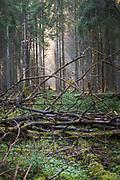 Foggy spring morning in spruce (Picea abies) forests rich with natural habitat structures, Kemeri National Park (Ķemeru Nacionālais parks), Latvia Ⓒ Davis Ulands | davisulands.com