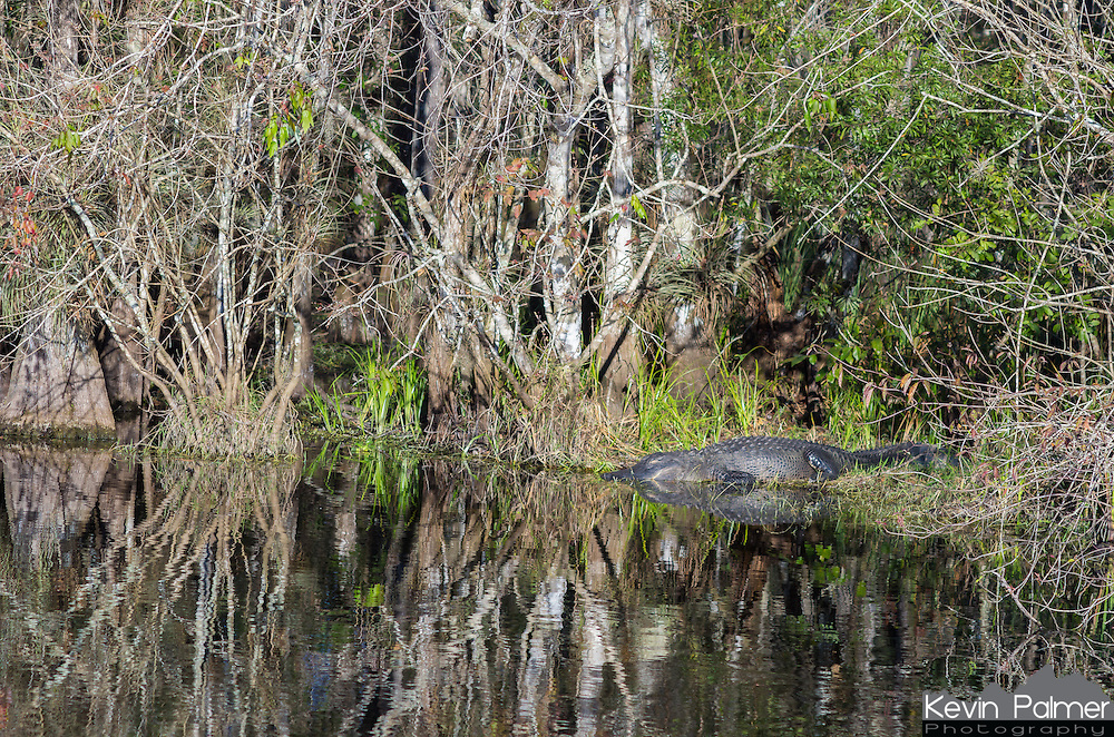 This was the first gator I saw in Big Cypress National Preserve. He was taking a nap in the evening sunlight.<br />
