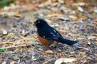 Eastern towhee in St. Marks Wildife Management Area on the panhandle coast. This particular bird was peculiar for this species as it was not shy posed for us instead of dashing off.