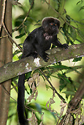Goeldi's Marmoset, Callimico goeldii, Iquitos, Peru, Amazon Rainforest, jungle, new world monkey, diurnal and arboreal, running and jumping quickly through the trees, omnivore, vunerable.