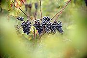 Nederland, Groesbeek, 15-10-2020 Bij wijnhoeve de Colonjes zijn vrijwilligers bezig met de oogst van de laatste biologisch geteelde druiven van dit seizoen . Met 13 ha. een van de grootste van het land, gaat kwaliteit hier boven kwantiteit. De druiven zijn van goede kwaliteit . Het dorp Groesbeek afficheert zichzelf als het wijndorp van Nederland omdat er de jaarlijkse wijnfeesten zijn en verschillende boeren druiven verbouwen. Door de gevolgen van de coronacrisis en de tijdelijke sluiting van de horeca is het moeilijker de wijn te verkopen . Foto: ANP/ Hollandse Hoogte/ Flip Franssen