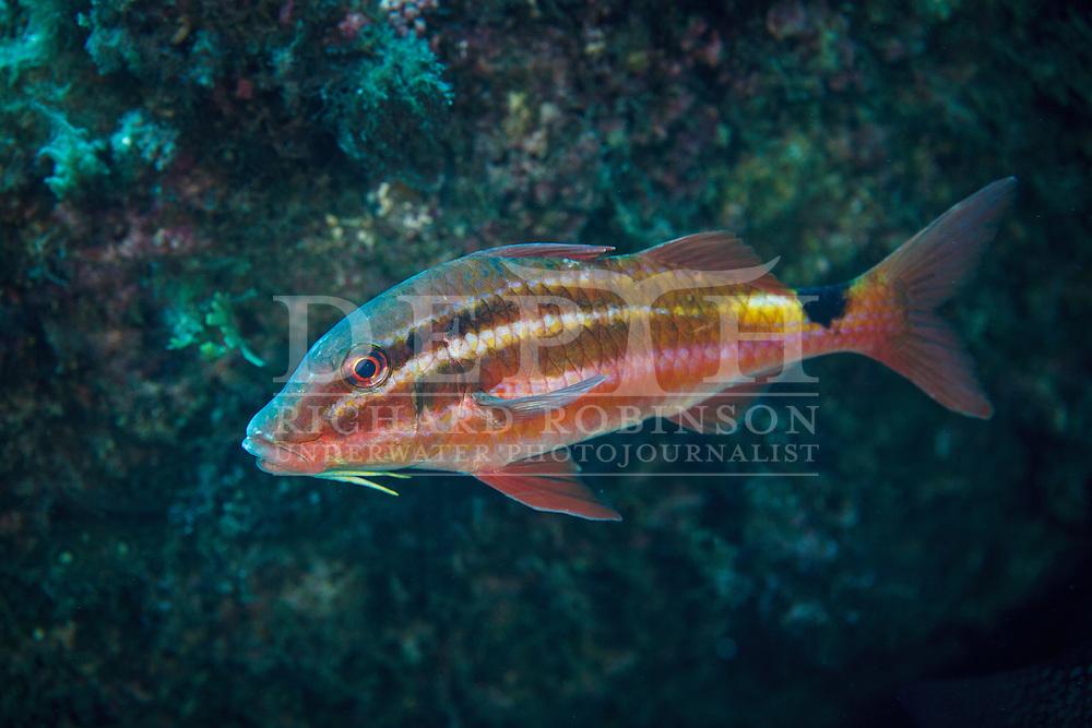 Parupeneus spilurus (Black-spot goatfish).<br /> Friday 23 January 2015<br /> Photograph Richard Robinson © 2015<br /> Dive Number: 570<br /> Site: North Meyer Island, Western Side, Kermadecs. <br /> Boat: Brave Heart<br /> Dive Buddy: Stephen Ulrich<br /> Time: 12:00<br /> Temperature: 22<br /> Maximum Depth: 23 meters<br /> Bottom Time: 60 minutes<br /> Bottom Time to Date: 39,577 minutes<br /> Cumulative Time: 39,637 minutes