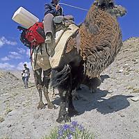 CHINA, Xinjiang. Khyrgiz nomad rides Bactrian camel near Lake Karakul in Pamir Mountains.