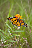 A monarch butterfly feeding on butterfly weed at the Mass Audubon Wellfleet Bay Wildlife Sanctuary.