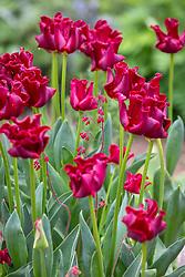 Tulipa 'Red Dress' with Heuchera sanguinea