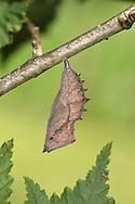 Camberwell Beauty - Aglais antiopa