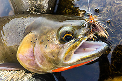 Cutthroat Portrait of a trout that came up to briefly visit one day.   This stimulator fly worked in the absence of a hatch of anticipated blue wing olives.
