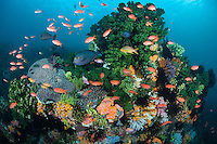 Anthias, Damsels, and Surgeonfish feed in the current around a colorful coral head.<br /> <br /> Shot in Indonesia