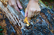 MUSHROOMS: Collecting Wild Mushrooms In Oregon.  Mushroom Forager Debby Accuardi collecting Oregon White Chanterelle Mushrooms in an undisclosed location in the Cascade Range.  Debby collecting and determining a species of mushrooms based on its gills and location.