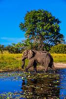 Elephant walking in a stream, near Kwara Camp, Okavango Delta, Botswana.