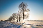 Sunlit line of birch trees (Betula pendula) along icy gravel road on cold winter day, near Matīši, Vidzeme, Latvia Ⓒ Davis Ulands | davisulands.com